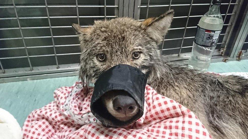 Köpek sanılıp buzlu sudan kurtarılan hayvan kurt çıktı